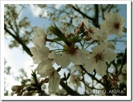 miyazaki-sakura